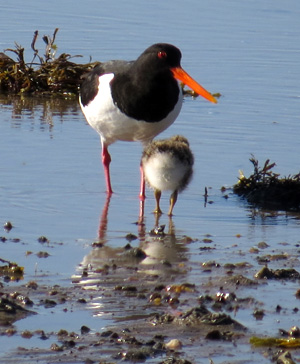 An oystercatcher with its young