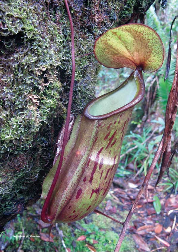 Nepenthes sp. Kamiali Papua New Guinea