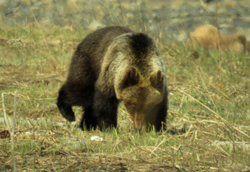 Bears are often herbivorous