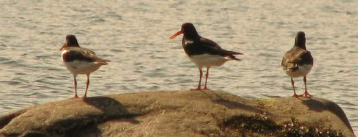 Competition is intraspecific: Oyster catchers